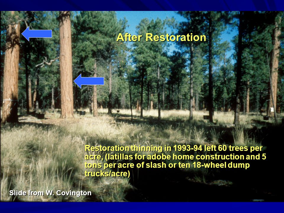 Restoration thinning in 1993-94 left 60 trees per acre, (latillas for adobe home construction and 5 tons per acre of slash or ten 18-wheel dump trucks/acre) After Restoration Slide from W.