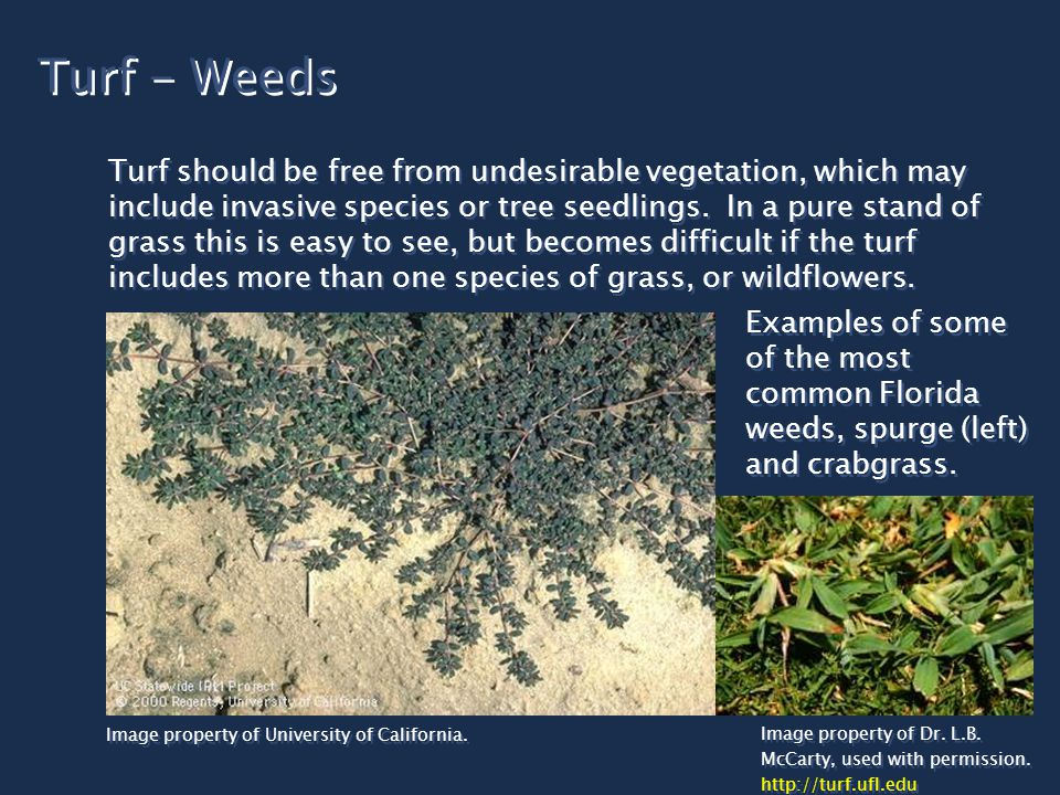 Turf - Weeds Turf should be free from undesirable vegetation, which may include invasive species or tree seedlings. In a pure stand of grass this is e