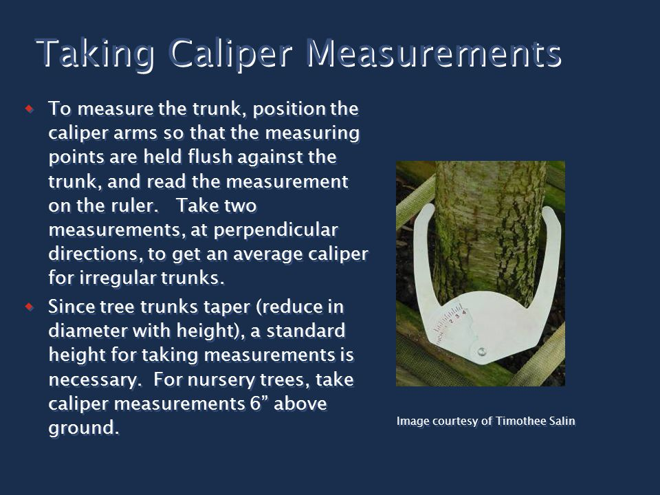  To measure the trunk, position the caliper arms so that the measuring points are held flush against the trunk, and read the measurement on the ruler