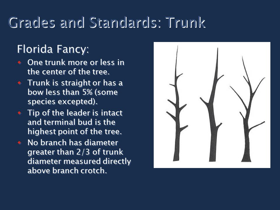 Grades and Standards: Trunk Florida Fancy:  One trunk more or less in the center of the tree.  Trunk is straight or has a bow less than 5% (some spe