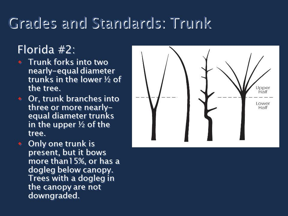 Grades and Standards: Trunk Florida #2:  Trunk forks into two nearly-equal diameter trunks in the lower ½ of the tree.  Or, trunk branches into thre