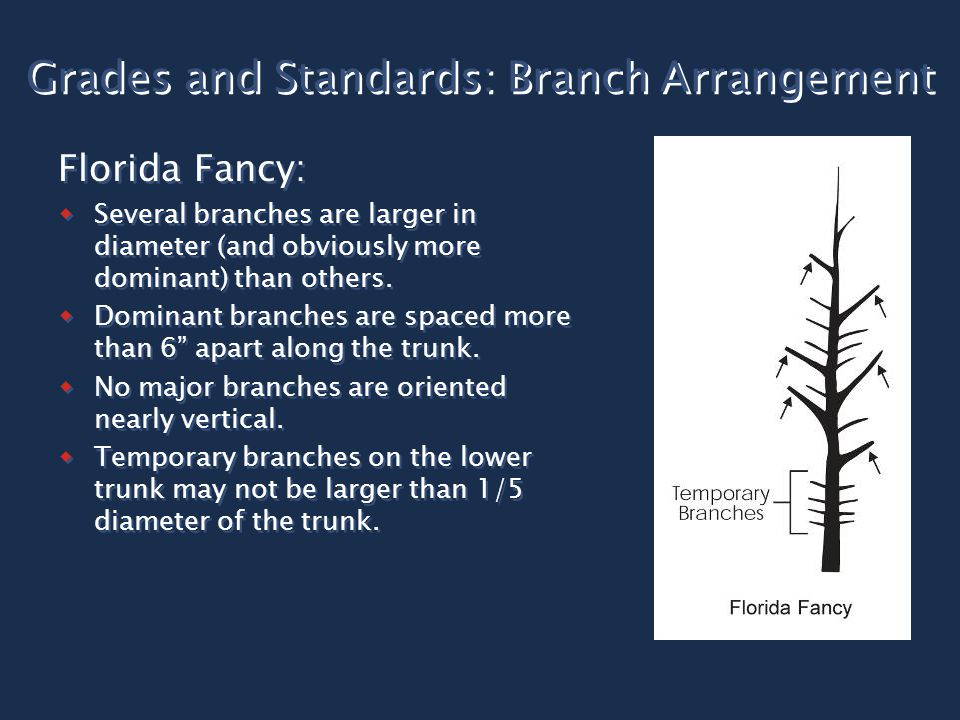 Grades and Standards: Branch Arrangement Florida Fancy:  Several branches are larger in diameter (and obviously more dominant) than others.  Dominan