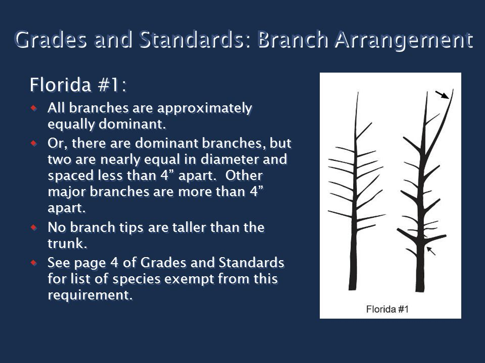 Grades and Standards: Branch Arrangement Florida #1:  All branches are approximately equally dominant.  Or, there are dominant branches, but two are