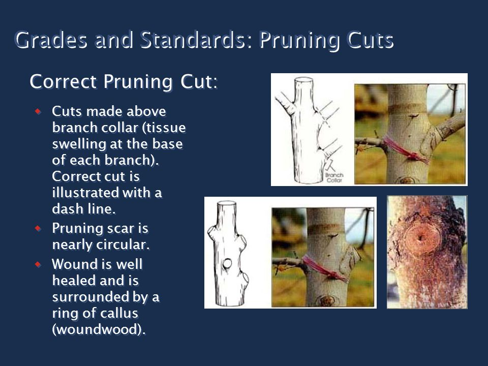 Grades and Standards: Pruning Cuts  Cuts made above branch collar (tissue swelling at the base of each branch). Correct cut is illustrated with a das