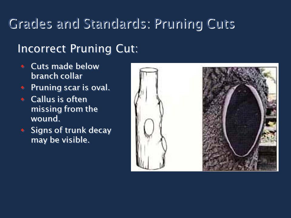 Grades and Standards: Pruning Cuts  Cuts made below branch collar  Pruning scar is oval.