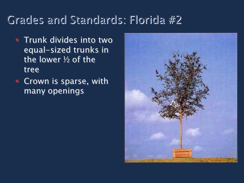 Grades and Standards: Florida #2  Trunk divides into two equal-sized trunks in the lower ½ of the tree  Crown is sparse, with many openings  Trunk