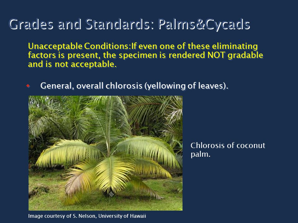 Grades and Standards: Palms&Cycads Unacceptable Conditions:If even one of these eliminating factors is present, the specimen is rendered NOT gradable