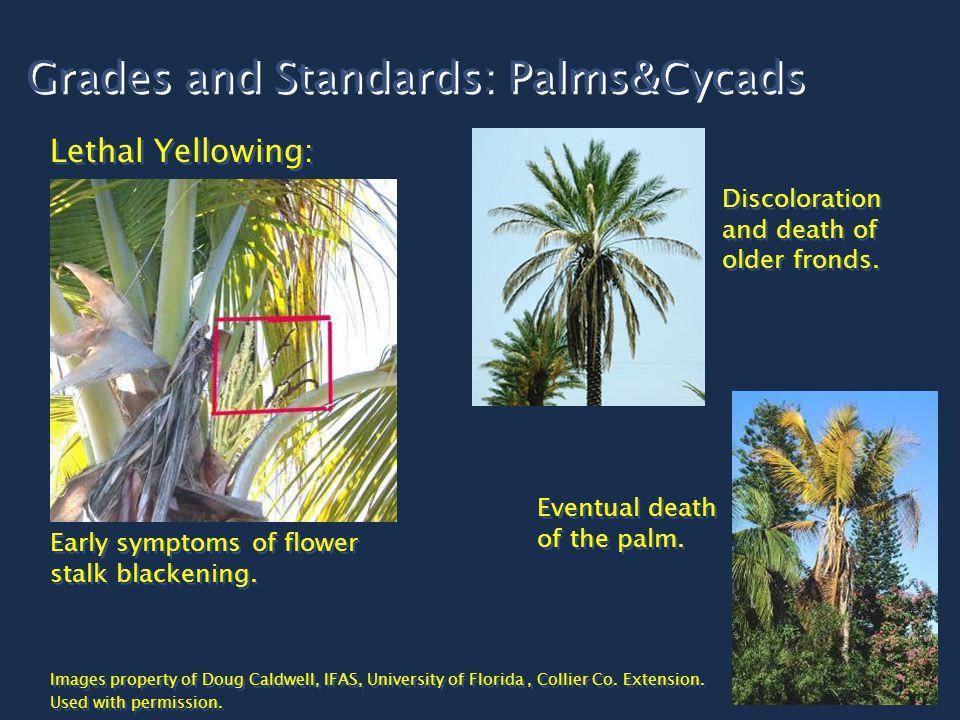 Grades and Standards: Palms&Cycads Lethal Yellowing: Early symptoms of flower stalk blackening.