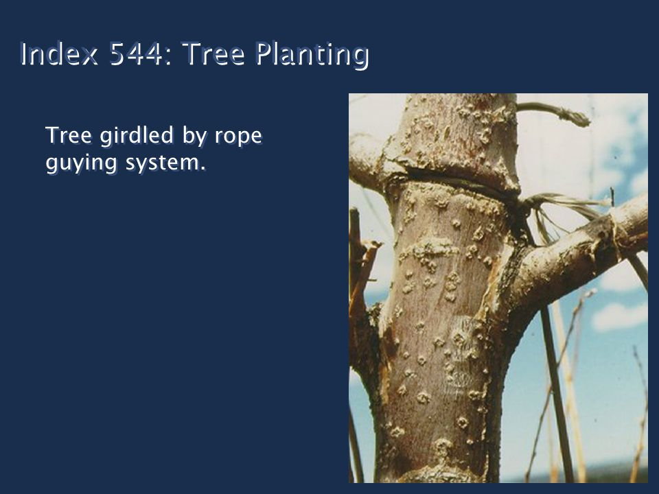 Index 544: Tree Planting Tree girdled by rope guying system.