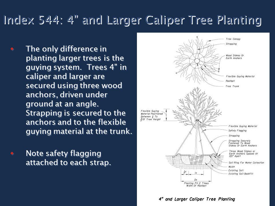 "Index 544: 4"" and Larger Caliper Tree Planting  The only difference in planting larger trees is the guying system. Trees 4"" in caliper and larger are"