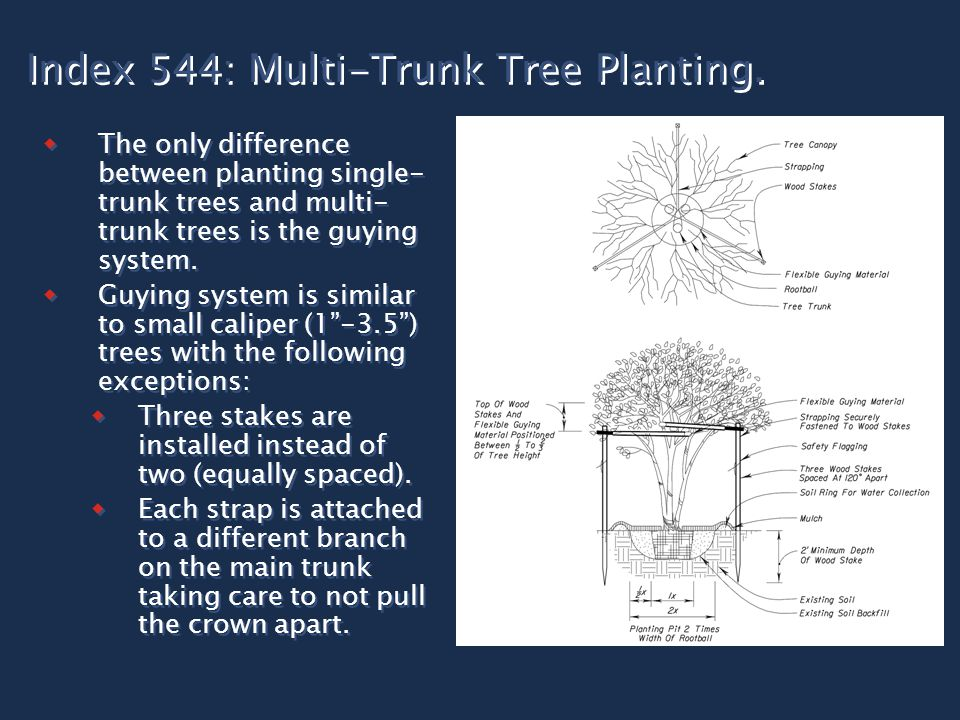 Index 544: Multi-Trunk Tree Planting.  The only difference between planting single- trunk trees and multi- trunk trees is the guying system.  Guying