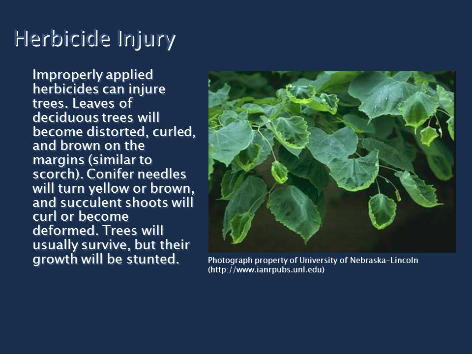 Herbicide Injury Improperly applied herbicides can injure trees. Leaves of deciduous trees will become distorted, curled, and brown on the margins (si