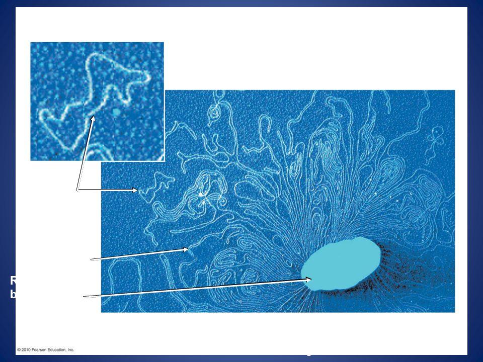 Plasmids Bacterial chromosome Remnant of bacterium Colorized TEM Figure 12.7