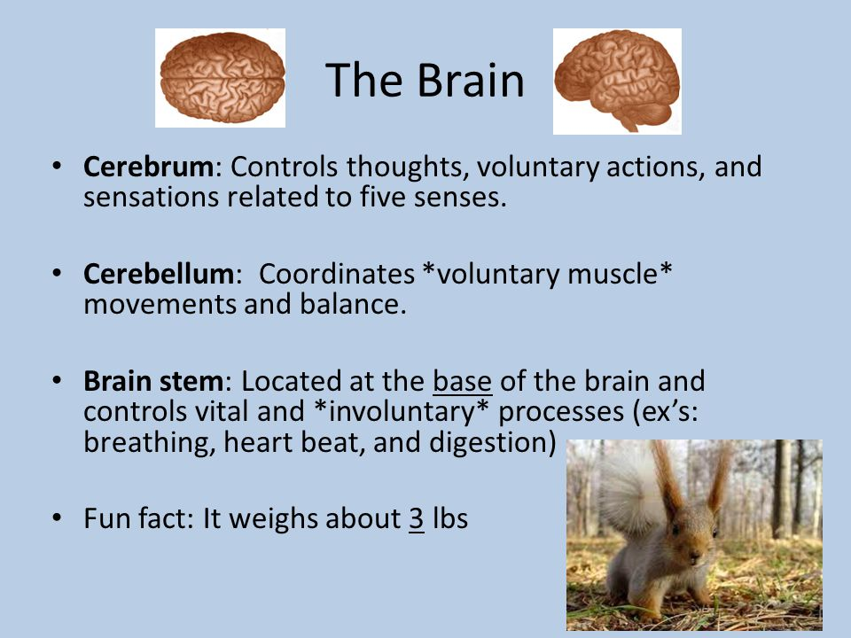 The Brain Cerebrum: Controls thoughts, voluntary actions, and sensations related to five senses.