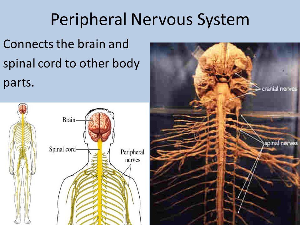 Peripheral Nervous System Connects the brain and spinal cord to other body parts.