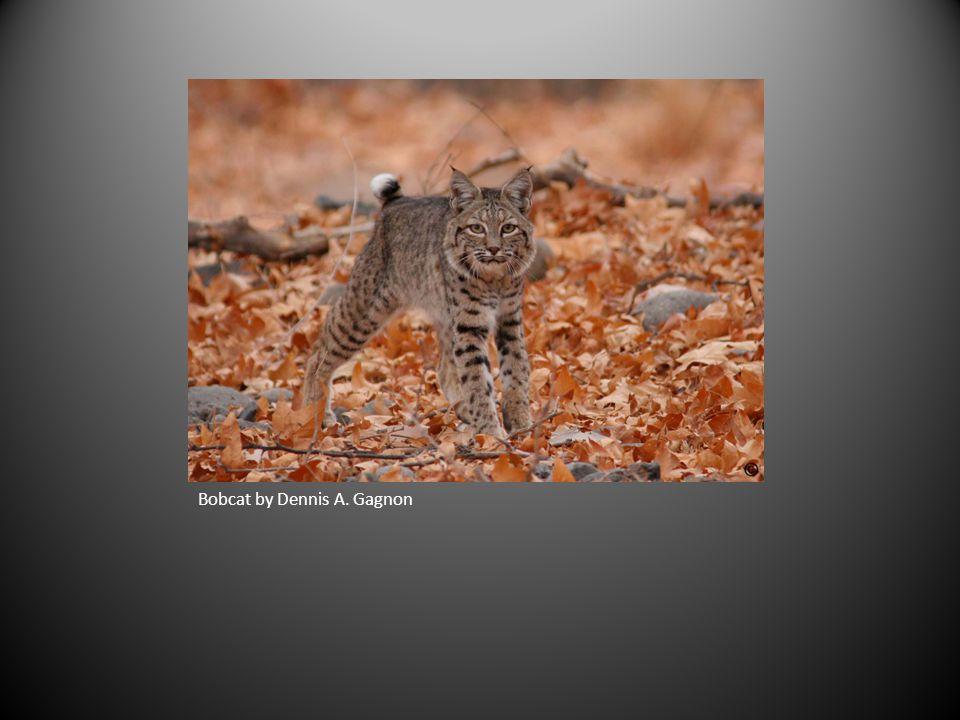 Bobcat by Dennis A. Gagnon