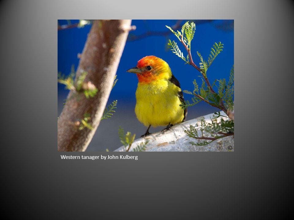 Western tanager by John Kulberg