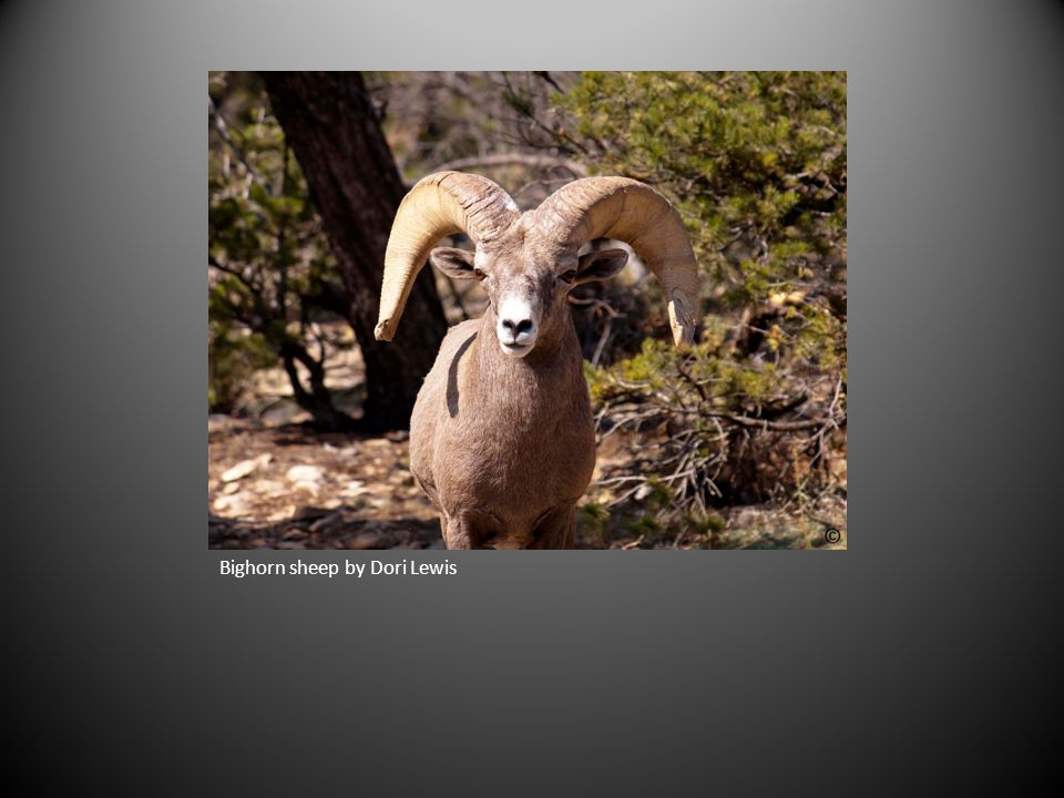 Bighorn sheep by Dori Lewis