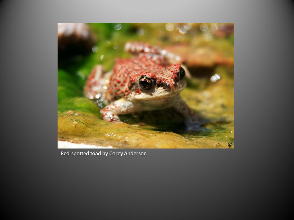 Red-spotted toad by Corey Anderson
