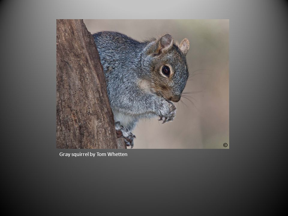 Gray squirrel by Tom Whetten