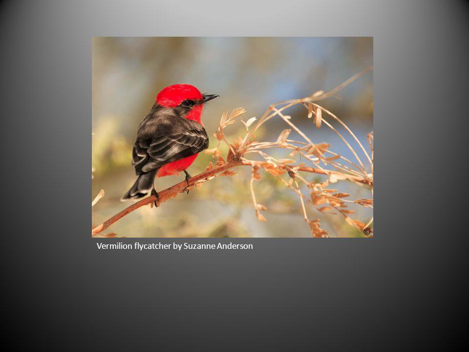 Vermilion flycatcher by Suzanne Anderson
