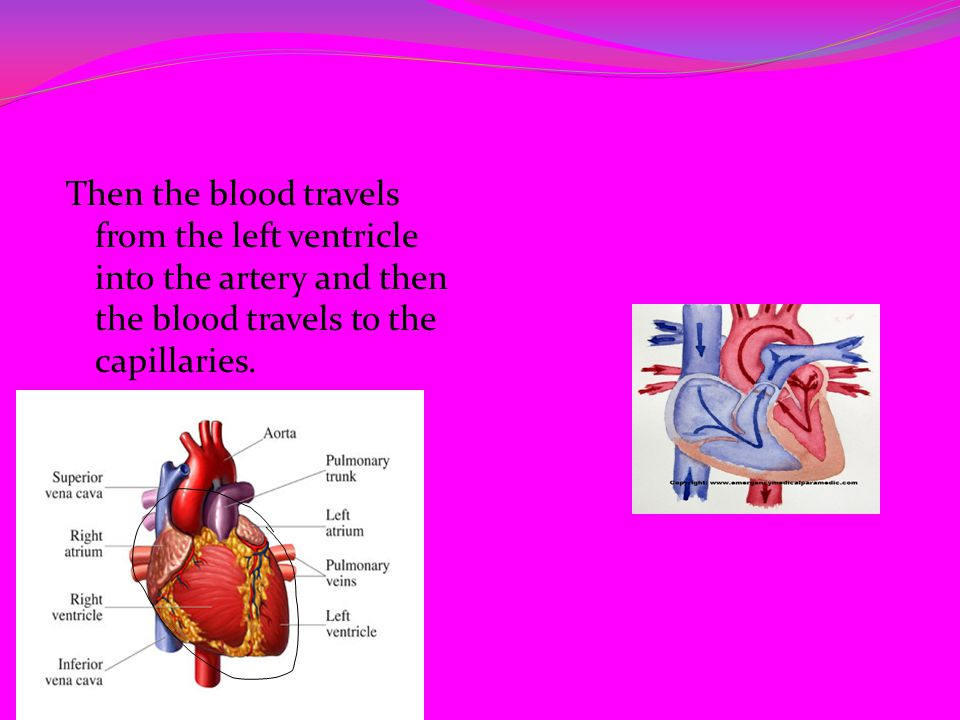 Then the blood travels from the left ventricle into the artery and then the blood travels to the capillaries.