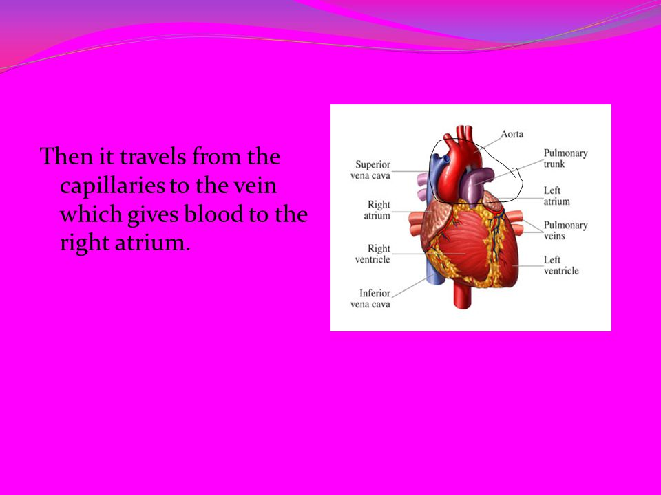 Then it travels from the capillaries to the vein which gives blood to the right atrium.