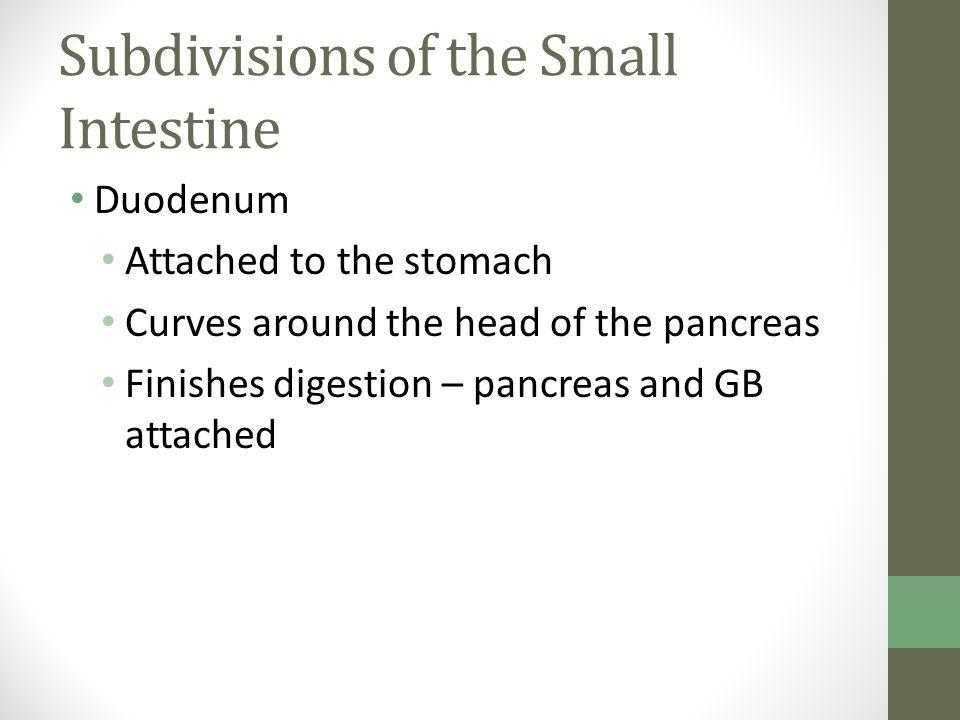 Subdivisions of the Small Intestine Duodenum Attached to the stomach Curves around the head of the pancreas Finishes digestion – pancreas and GB attached