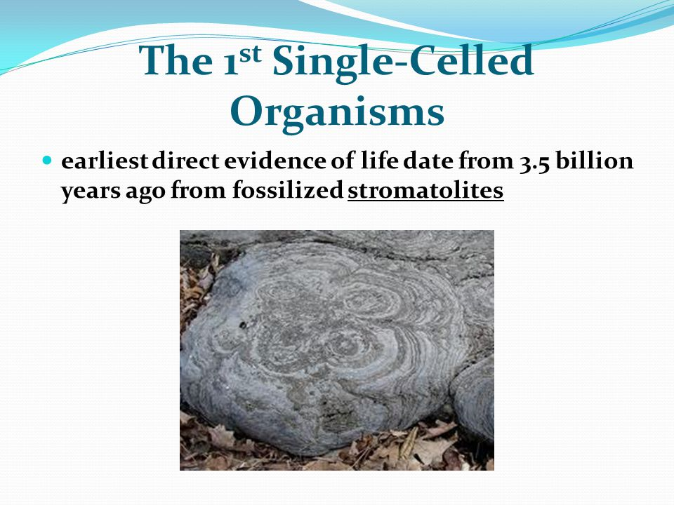 The 1 st Single-Celled Organisms earliest direct evidence of life date from 3.5 billion years ago from fossilized stromatolites