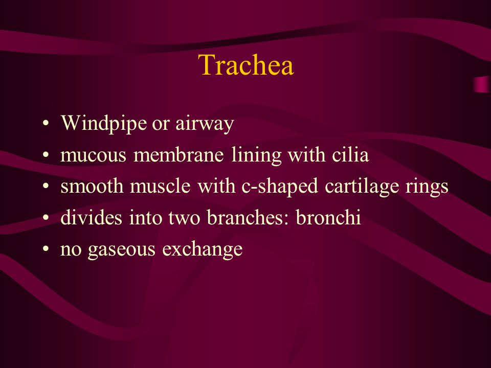 Trachea Windpipe or airway mucous membrane lining with cilia smooth muscle with c-shaped cartilage rings divides into two branches: bronchi no gaseous
