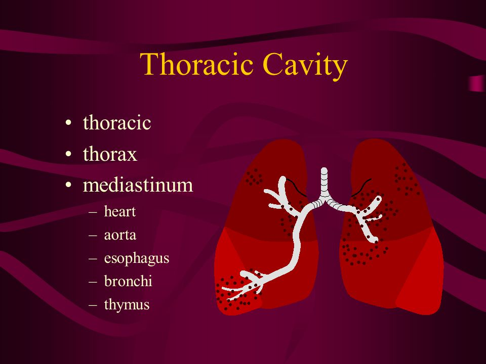 Thoracic Cavity thoracic thorax mediastinum –heart –aorta –esophagus –bronchi –thymus