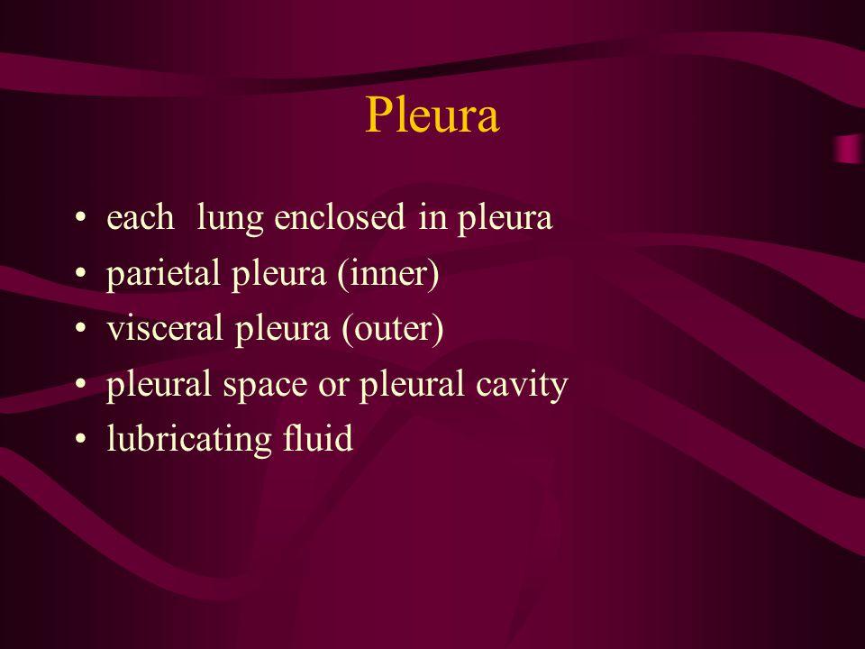 Pleura each lung enclosed in pleura parietal pleura (inner) visceral pleura (outer) pleural space or pleural cavity lubricating fluid