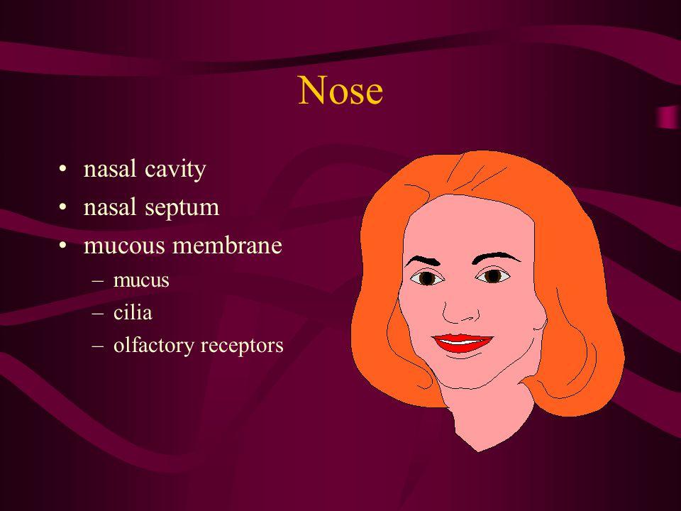 Nose nasal cavity nasal septum mucous membrane –mucus –cilia –olfactory receptors