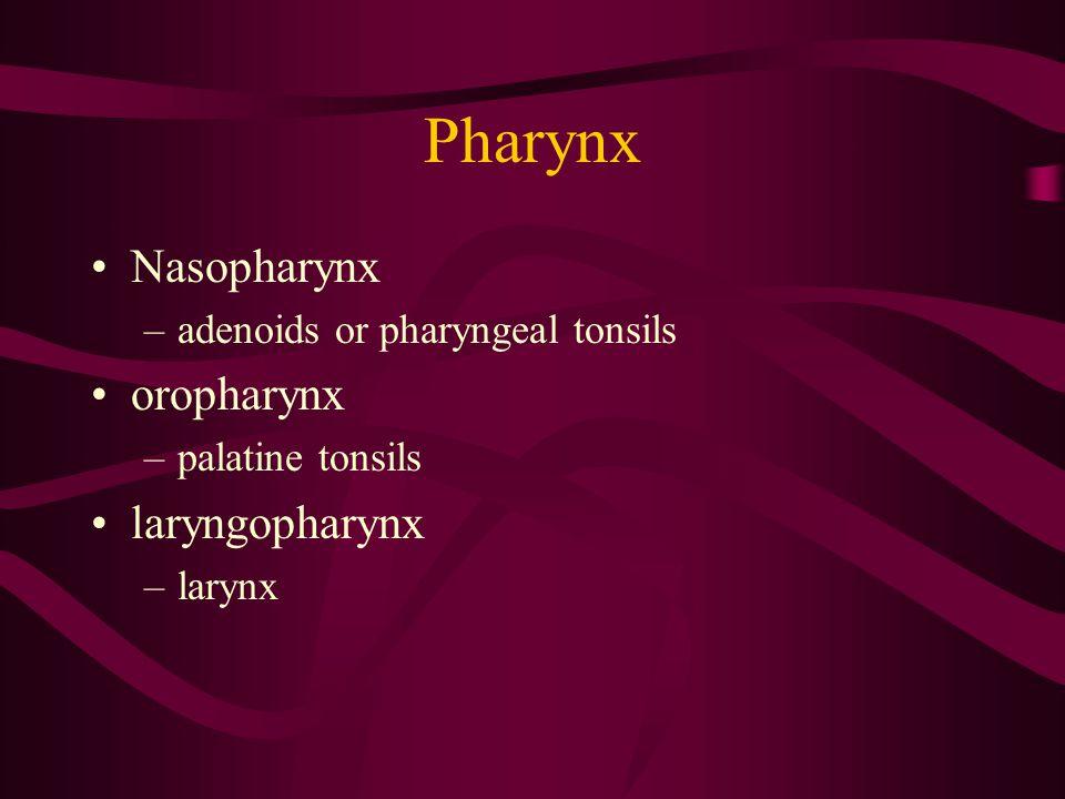 Pharynx Nasopharynx –adenoids or pharyngeal tonsils oropharynx –palatine tonsils laryngopharynx –larynx