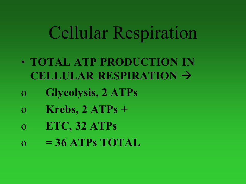 Cellular Respiration TOTAL ATP PRODUCTION IN CELLULAR RESPIRATION  oGlycolysis, 2 ATPs oKrebs, 2 ATPs + oETC, 32 ATPs o= 36 ATPs TOTAL
