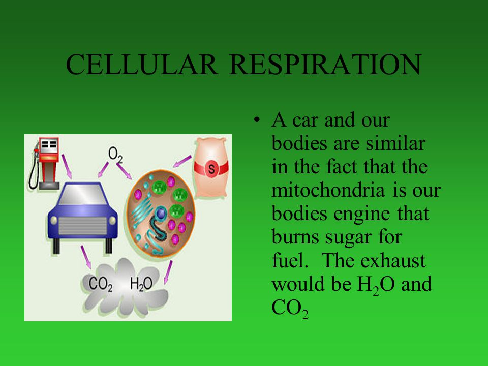 CELLULAR RESPIRATION A car and our bodies are similar in the fact that the mitochondria is our bodies engine that burns sugar for fuel.
