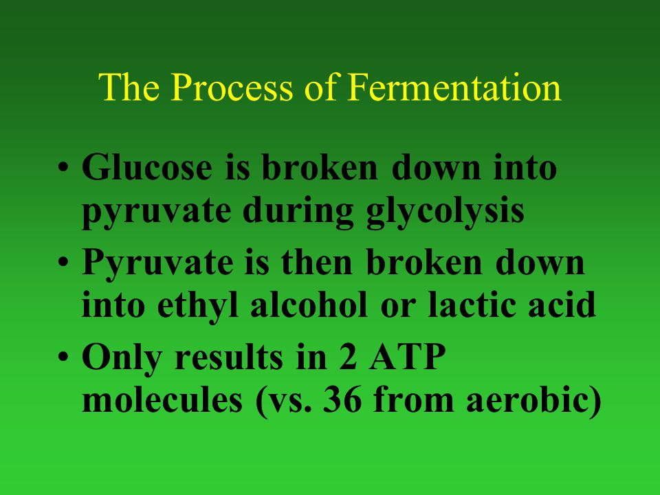 The Process of Fermentation Glucose is broken down into pyruvate during glycolysis Pyruvate is then broken down into ethyl alcohol or lactic acid Only results in 2 ATP molecules (vs.