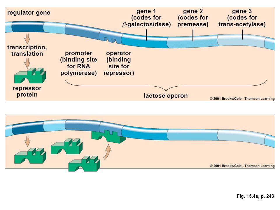 Fig. 15.4a, p. 243 regulator gene transcription, translation repressor protein promoter (binding site for RNA polymerase) operator (binding site for r