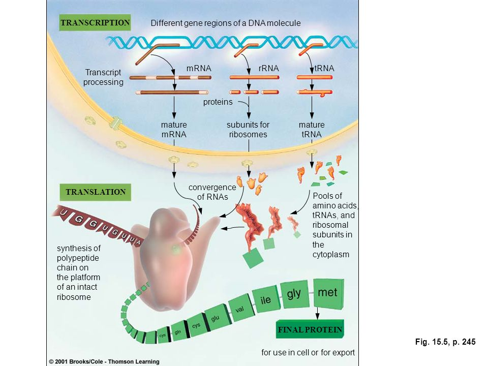 Fig. 15.5, p. 245 TRANSCRIPTION TRANSLATION Different gene regions of a DNA molecule Transcript processing mRNArRNAtRNA mature mRNA proteins subunits