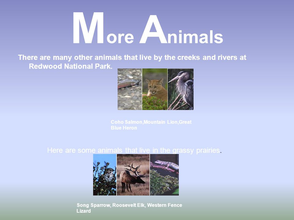 M ore A nimals There are many other animals that live by the creeks and rivers at Redwood National Park.
