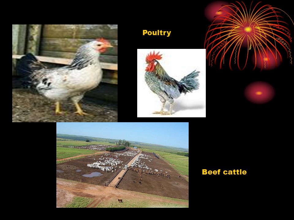 Poultry Beef cattle