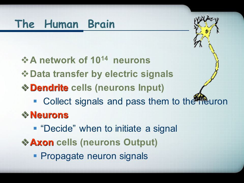  A network of 10 14 neurons  Data transfer by electric signals  Dendrite  Dendrite cells (neurons Input)  Collect signals and pass them to the ne