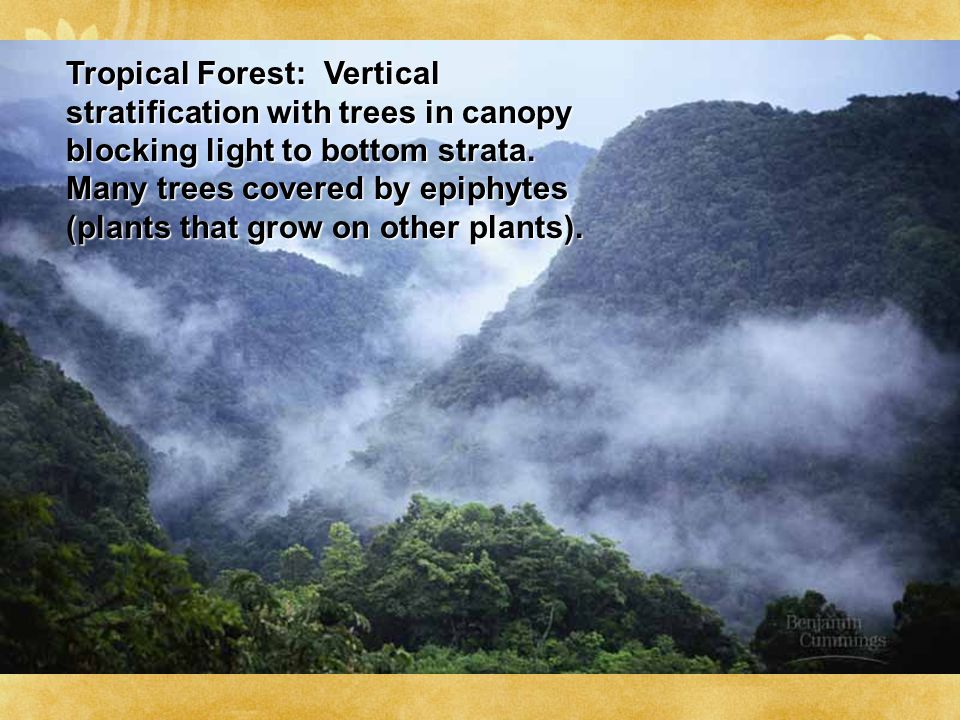 Tropical Forest: Vertical stratification with trees in canopy blocking light to bottom strata. Many trees covered by epiphytes (plants that grow on ot