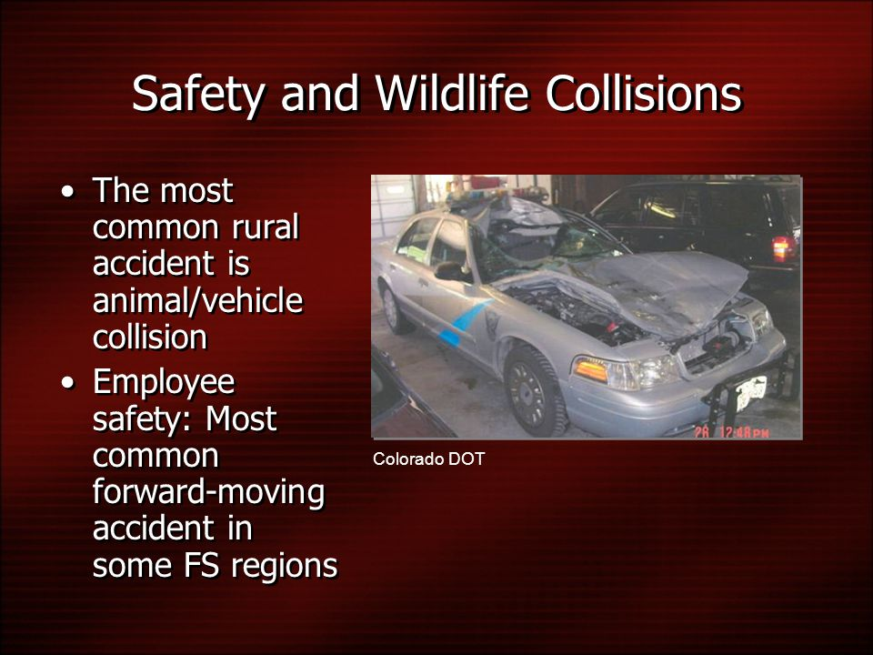 Safety and Wildlife Collisions The most common rural accident is animal/vehicle collision Employee safety: Most common forward-moving accident in some FS regions Colorado DOT