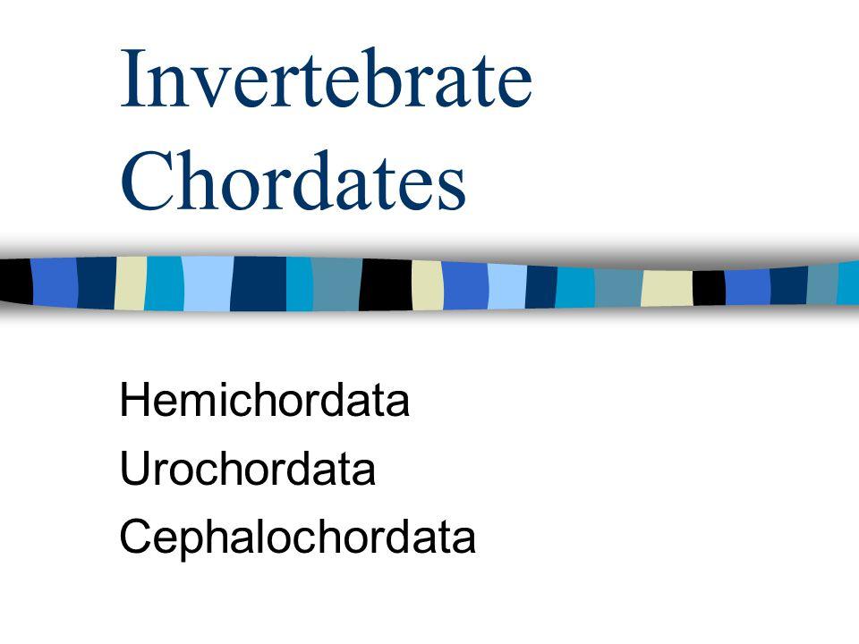 Invertebrate Chordates Hemichordata Urochordata Cephalochordata