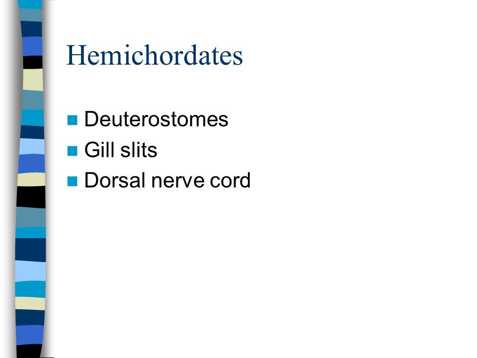 Hemichordates Deuterostomes Gill slits Dorsal nerve cord