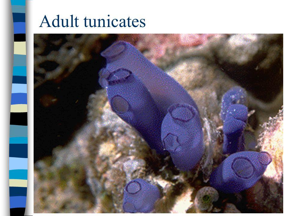 Adult tunicates