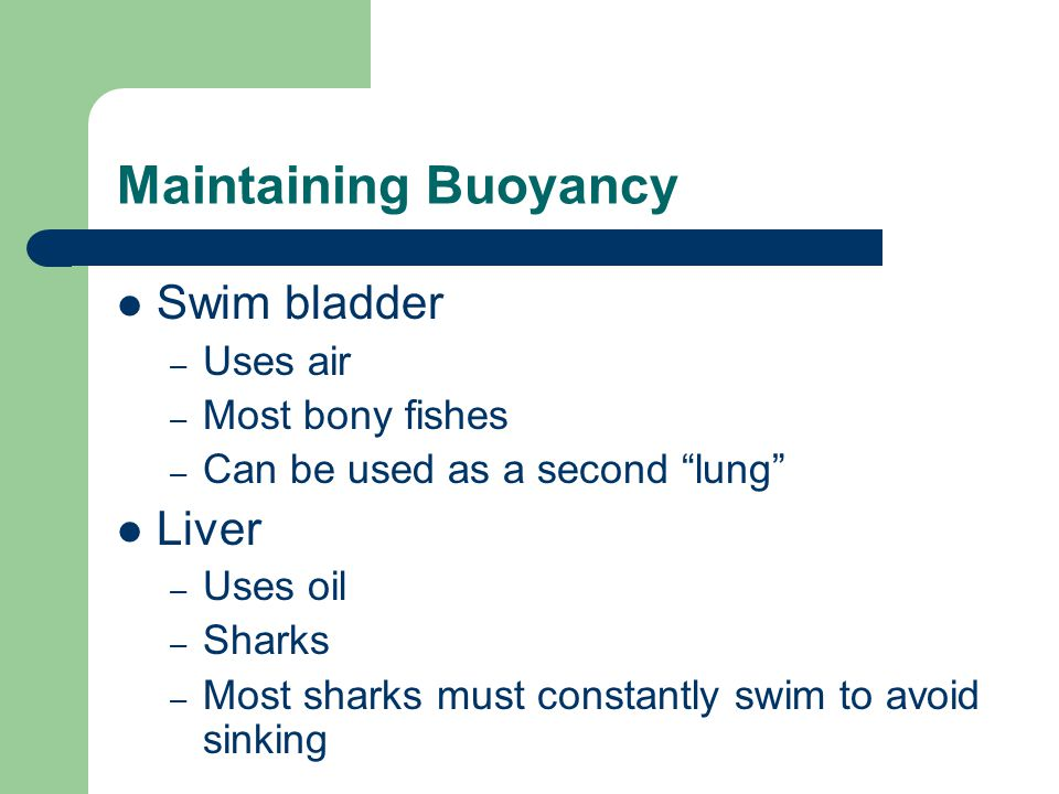 """Maintaining Buoyancy Swim bladder – Uses air – Most bony fishes – Can be used as a second """"lung"""" Liver – Uses oil – Sharks – Most sharks must constant"""