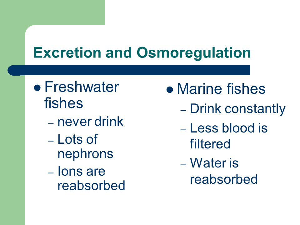 Excretion and Osmoregulation Freshwater fishes – never drink – Lots of nephrons – Ions are reabsorbed Marine fishes – Drink constantly – Less blood is