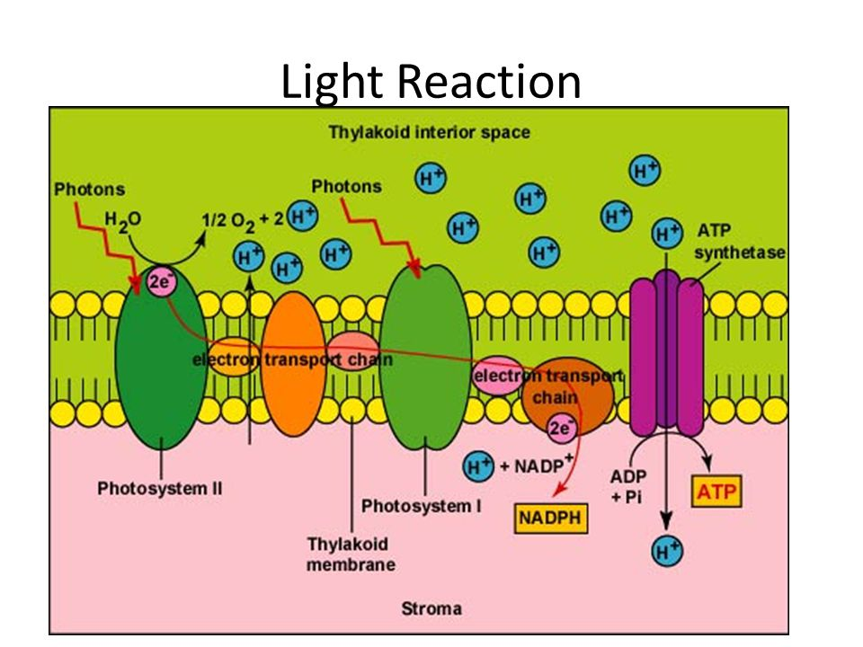 Light Reaction – in a nutshell Occurs in the thylakoid membrane of the chloroplast.